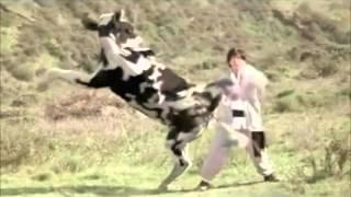 90 giây - Bò sữa đánh lộn tay đôi với người