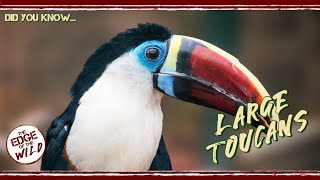 Large Toucans – Did You Know...