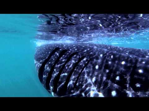 Whale Shark Tour – Isla Holbox