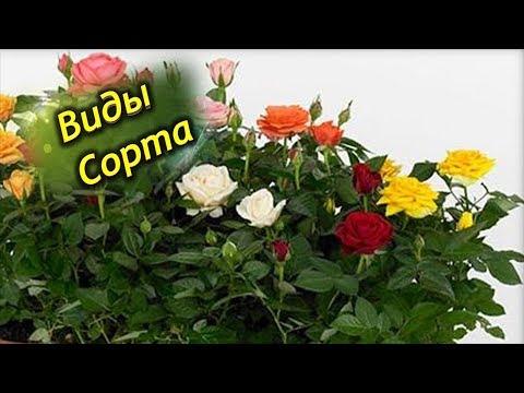 Разновидности комнатных роз. Фото и описание сортов для выращивания дома.