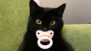 Котики и кошки, Приколы с котами,  Смешные видео про котов котят и кошечек 2017