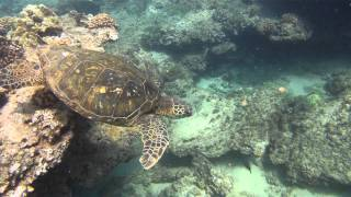 preview picture of video 'Sea Turtles at Napili Bay, Maui gopro snorkeling'