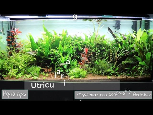 Coridoras, Ancistrus y Acuarios Plantados Tapizados || AquaTips
