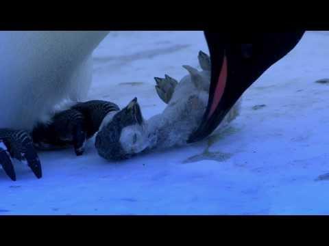 企鵝的哀鳴 動物間真情流露
