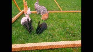 preview picture of video 'Króliki na wybiegu - Hodowla królików Podhale [HKP]'