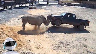НОСОРОГ В ДЕЛЕ / Носорог против львов, слона, человека, автомобиля, буйвола