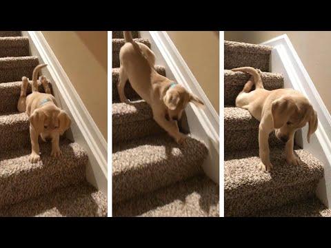 Очаровательный щенок боится лестницы