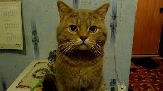 Кот ругается матом! Кот говорит или Говорящий кот. Я люблю тебя!