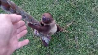 Baby Sloth Learning To Climb