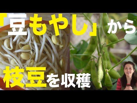 , title : '⚫️再生栽培(7)「大豆もやし」から「枝豆」を収穫。