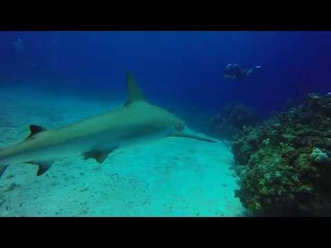 Shark Feed at Split Coral Head - Blackbeard's Cruise 9/16/2015