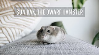 Why I Got A Hamster After College   Minimalism & Pets