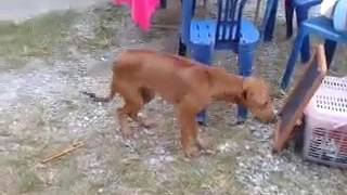 Anjing lucung lagi dangdutan