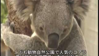 おもしろ生き物 走るコアラ、叫ぶコアラ