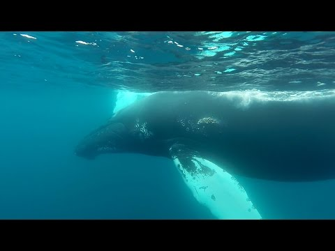 GoPro: Snorkeling With Humpback Whales