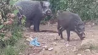 Babi di puncak Cikuray