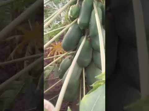 Papaya Red Lady Plant