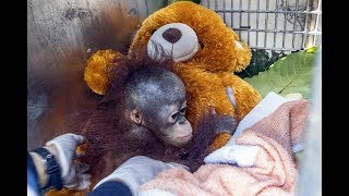 Baby orangutan 'cries' as it's freed from village cage - Today News