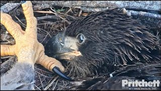 SWFL Eagles ~ E16 Puts It's Foot In E15's Face! lol And Places A Stick On E15's Back! 😂😂 5.21.20