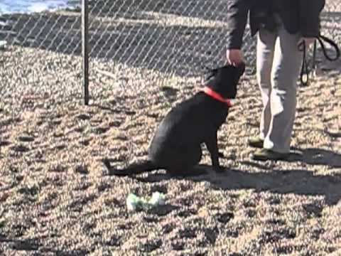 Jade, an adopted Labrador Retriever in Fort Collins, CO