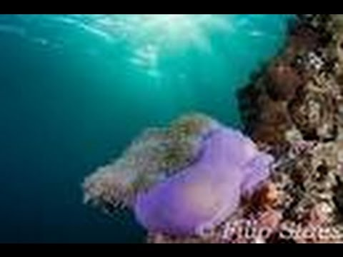 Diving Anemone Reef | Phuket Scuba Day Trips Underwater HD Video by Freedom Divers Phuket