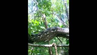 Millennium Reptiles discovers a wild Madagascan Ground Boa!