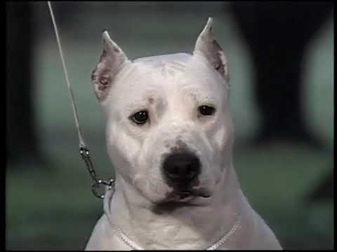 AKC Dog breed series - American Staffordshire Terrier