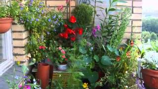 БЕГОНИЯ ампельная.Мой  балкон 2010