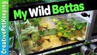 Wild Betta Fish 🐟 TANK UPGRADE   Betta Mahachaienisis