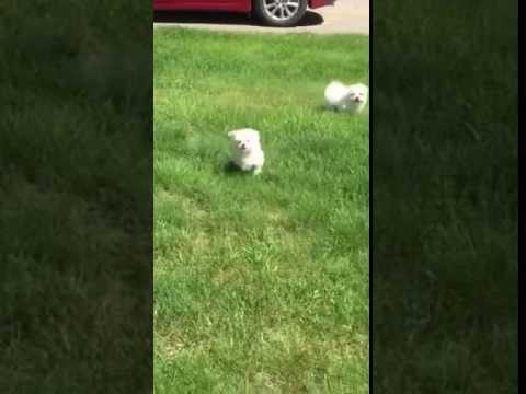 Maltese babies playing