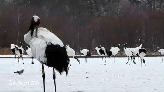 Japanese Red-Crowned Cranes and Whooper Swans at Akan International Crane Center「阿寒国際ツルセンター」