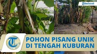 Tumbuh di Area Pemakaman, Buah Pisang ini Tumbuh di Tengah Batang, Warga Sebut Bisa Buat Obat