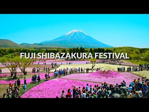 shiba sakura festival