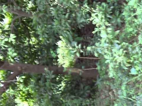 RED SANDAL WOOD PLANTATION--CH VIDYA SAGARREDDY - смотреть онлайн на