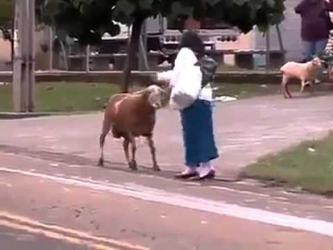 Crazy Goat Attacks People