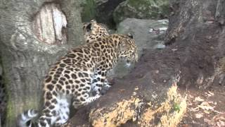 Amur Leopard Documentary