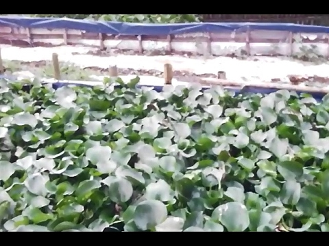Video Eceng gondok media untuk meningkatkan kualitas air beternak lele sangkuriang