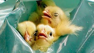 Baby Chicks Suffocated to Death in Garbage Bags - Egg Industry Horrors