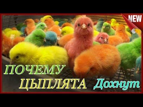 , title : 'Брудер из коробки!!! Почему дохнут цыплята. Причина гибели суточных цыплят и перепелят.