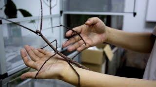 Палочник-гигант: в Китае обнаружили самое длинное насекомое в мире