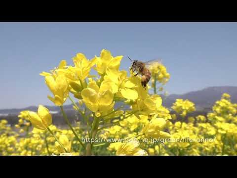 ナノハナ畑のミツバチ