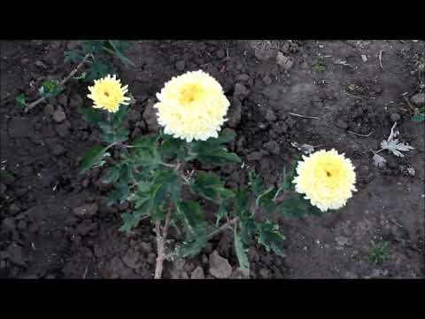 Цветение крупноцветковых хризантем
