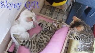 продажа бенгальский котенок Витас