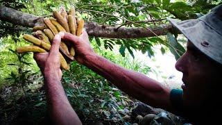 Cujes o Pepetos, Increíble Fruta Que Solo Encontraras En Las Orillas Del Río