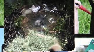 Akcja wyciągania bocianów  z gniazda w Ustroniu