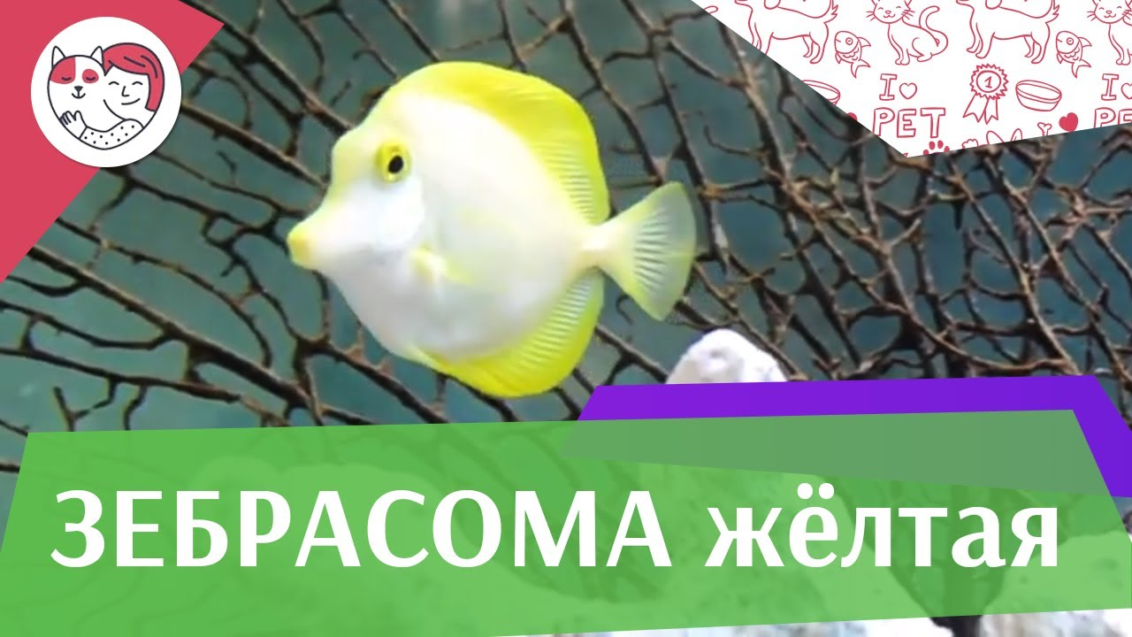 Зебрасома желтая Соседи по  аквариуму  на ilikepet
