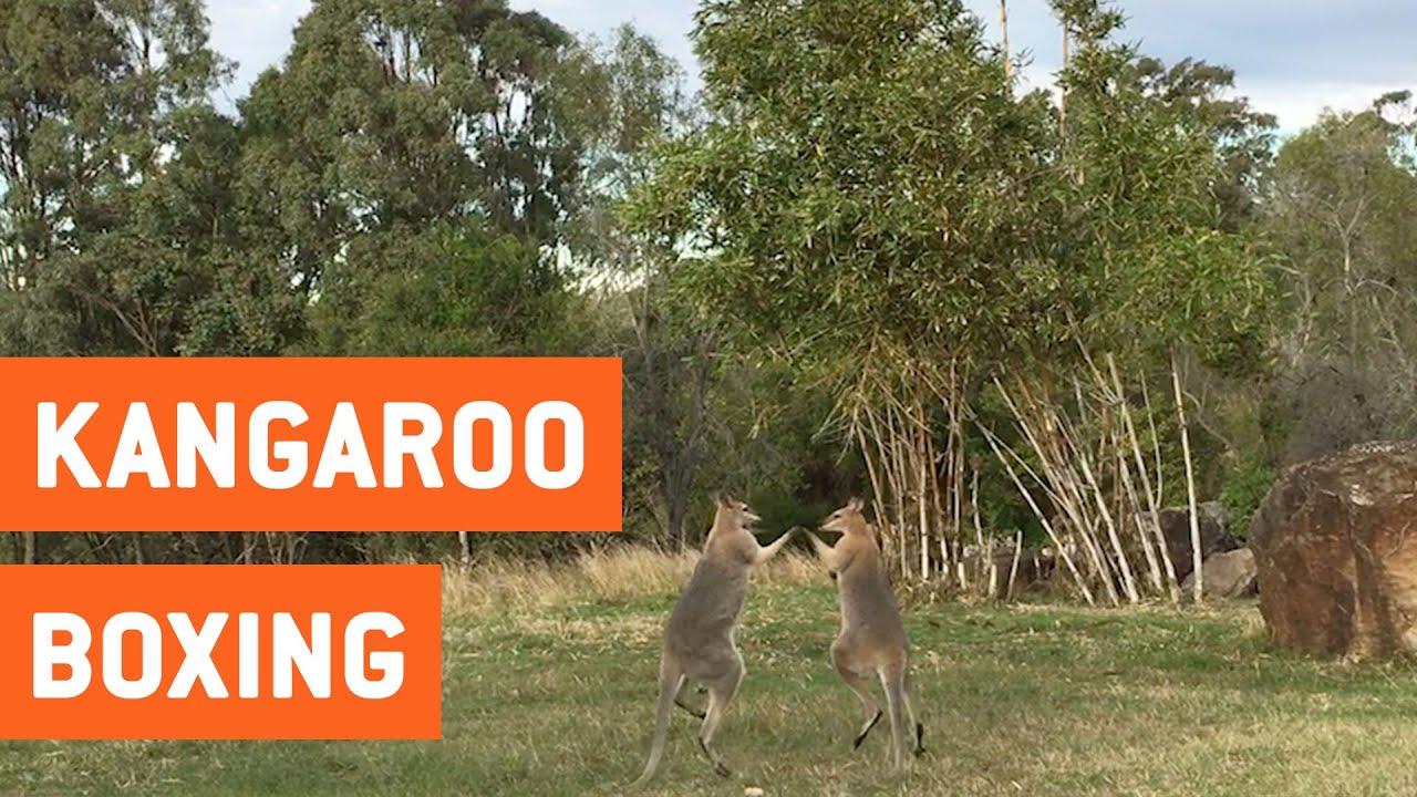 Два диких кенгуру подрались из-за дамы сердца