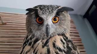 An owl's ear fell off, an owl in a bowl, a cat outside the window, an owl smashes mimimetres