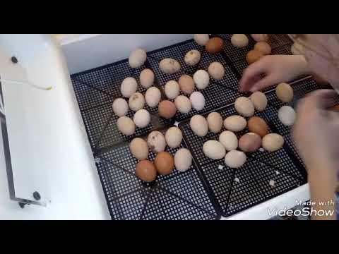 Инкубатор несушка часть №2 появление цыплят на белый свет!!