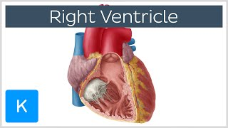 Right Ventricle - Function, Definition and Anatomy - Human Anatomy |Kenhub